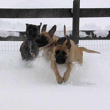 Diesel, Willow, and Tessa playing in the snow