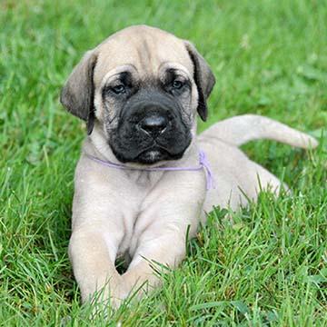 American Mastiff Puppies