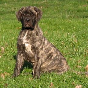 Deepwood Acres American Mastiffs Breed Information